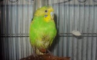 Липома у волнистого попугая
