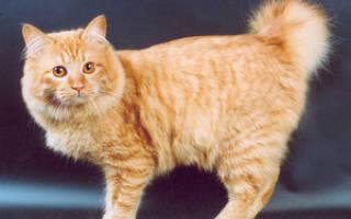Бобтейл кошки характер и описание