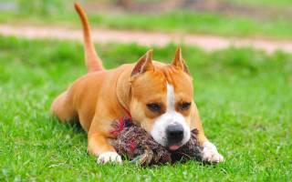 Как воспитывать щенка стаффорда?
