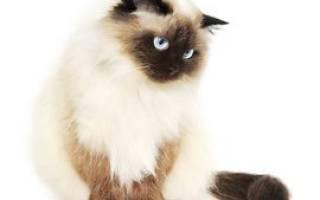 Гималайская кошка фото и описание породы