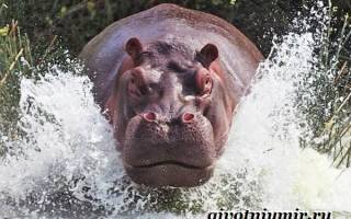 Где обитают бегемоты и чем они питаются – где живет гиппопотам?