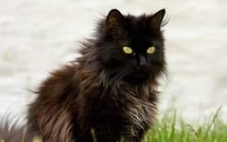 Шантильи тиффани котята фото