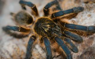 Какой паук стал домашним любимцем человека?