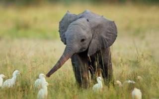Чем питаются слоны в природе?