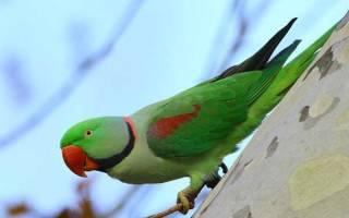 Александрийский попугай отзывы владельцев