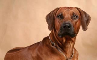Риджбек собака описание породы