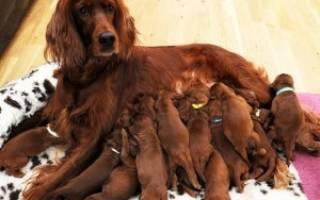 Сколько носит собака щенков во время беременности?