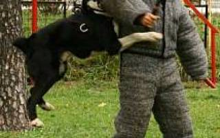 Воспитание щенка алабая в 2 месяца, среднеазиатская овчарка в домашних условиях