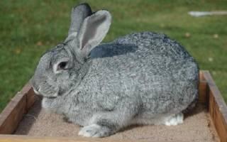 Какие породы кроликов можно скрещивать между собой?