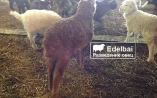 Сколько стоит ягненок – стоимость овцы романовской породы