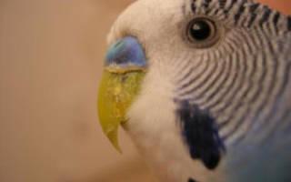 Что делать если у попугая слоится клюв?