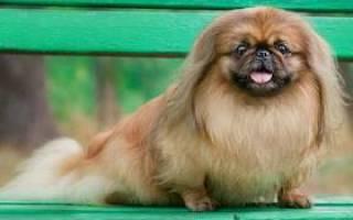 Как выбрать щенка пекинеса?