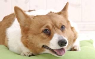 Как выбрать щенка корги пемброк?