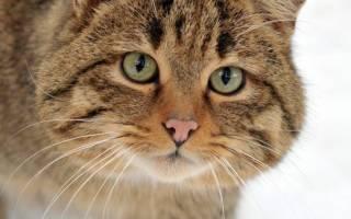 Какая порода домашних кошек самая крупная?