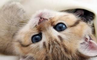 Какую породу кота лучше завести в квартире?