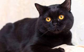 Британская черная кошка описание породы