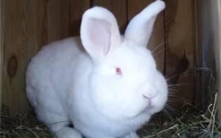 НЗБ кролики описание характеристика