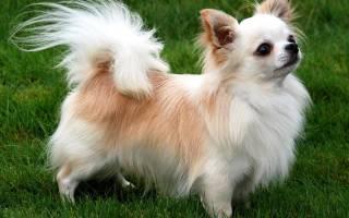 Породы маленьких пушистых собак фото с названиями – мохнатая овчарка