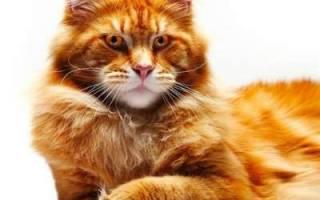 Кот мэйкун описание породы