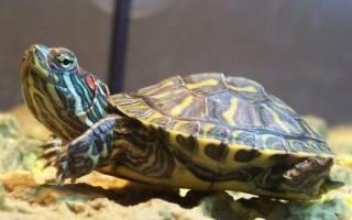 Какие бывают породы черепах?