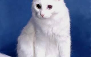 Ангорская кошка описание породы и характера