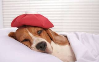 Болит ухо у собаки как лечить