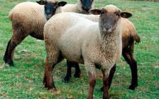 Какие овцы самые выгодные?