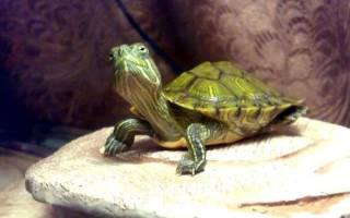 Красноухая черепаха пищит и открывает рот