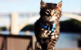 Нужно ли выгуливать домашнюю кошку: выгул кошек