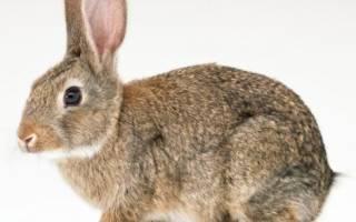 Признаки беременности у крольчихи