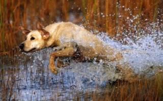 Как тренировать щенка лабрадора?
