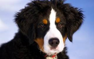 Порода собаки бернский зенненхунд фото, berner sennenhund