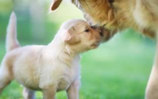 В каком возрасте щенков отлучают от матери?