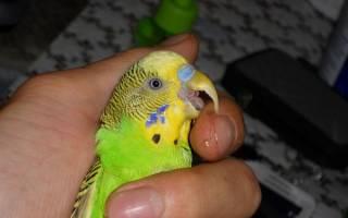Как подстричь клюв волнистому попугаю, видео