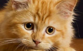 У котенка вылезла прямая кишка что делать