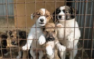 Вольерный кашель у собак симптомы и лечение