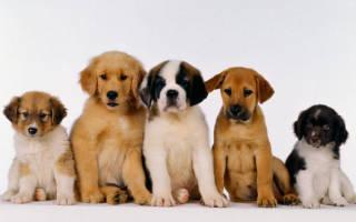 Как правильно выбрать щенка из помета?