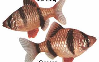 Какие рыбки уживаются с барбусами?