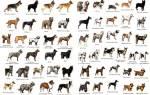 На какие группы делятся породы собак?