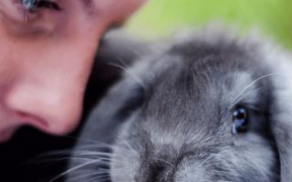 Вислоухий баран кролик описание