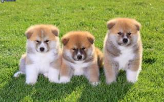 Акита ину вес по месяцам таблица — аттика собака