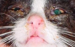 У котенка закисают глазки что делать