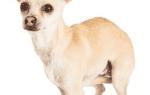 Почему собака поджимает хвост?