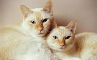 Кого лучше заводить кота или кошку?