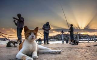 Кошки с большими ушами порода фото – коты ушастые
