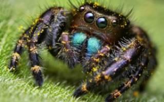 Сколько глаз у паука крестовика?