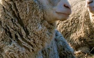 Овцы прекос описание породы