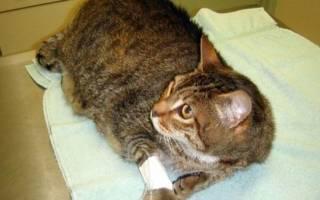 Котенок хромает на переднюю лапу что делать, причины хромоты у кошек