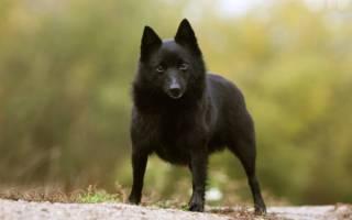 Схипперке собака описание породы