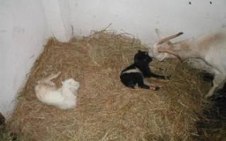 Сколько козлят рожает коза?